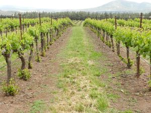 A modern organic vineyard in Golan Heights in Israel.
