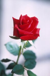 393px-Red_rose