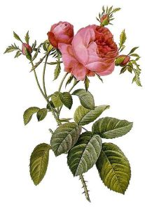 Rosa centifolia foliacea, a painted engraving of a rose by Pierre-Joseph Redouté (1759–1840).