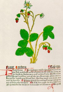 Mainz Hebarius - Gart der Gesundheit - the first known botanical drawing of the strawberry, 1485.