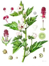 Althaea Officinalis- the marsh mallow plant.