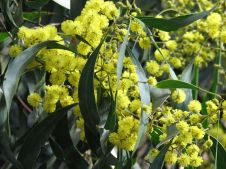 Golden Wattle, the floral emblem of Australia. Image courtesy of Melburnian.