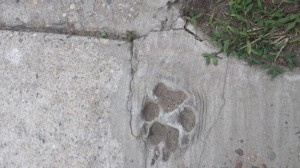 Dog paw print in a sidewalk in Florence, New Jersey.