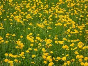 dandelion-108459_640
