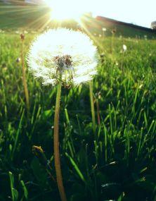 Dandelion_sun