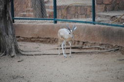 gazelle boubou