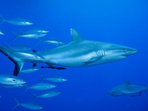Grey Reef Shark off Papua New Guinea. Image courtesy of Marc Tarlock.