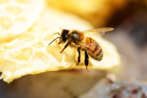 honey-bee-354993_640