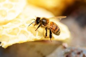 honey-bee-354993_640