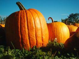 1024px-Pumpkins_Hancock_Shaker_village_2418