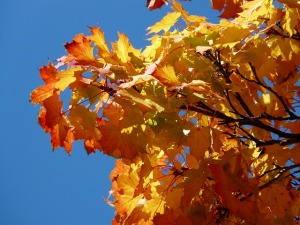 maple-leaves-61798_640