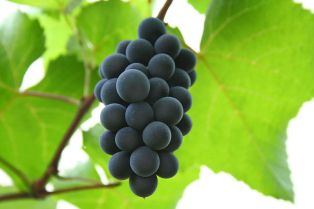 800px-Hungarian_red_grape_Isabelle