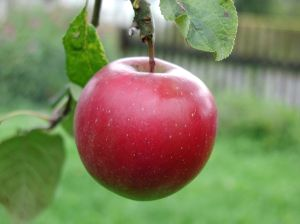 Big_red_apple