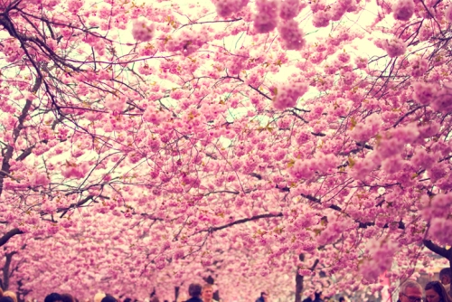 https://antiquitynow.files.wordpress.com/2015/04/cherry-blossom.jpg