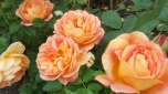 13. It took until the late 18th century before cultivated roses were introduced from China to Europe, laying the ground for modern rose breeding.13