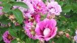 In the 17th century roses and rose water were used as money by royalty in Europe.11