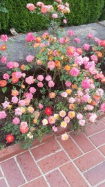 """The first hybrid tea rose, """"La France"""" by the French breeder, Guillot in 1867, resulted in the introduction of more than 10,000 hybrid tea roses by the late 20th century."""