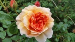 Garden cultivation of roses began some 5,000 years ago, probably in China. The Romans grew roses throughout the Middle East and Roman nobility established large rose gardens in Rome. The Romans used roses for anti-aging cosmetics, in wine to offset drunkenness, as confetti and as medicines.6
