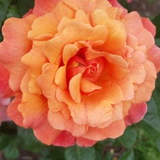 Early nomadic tribes were the first formal gardeners, planting roses along their most traveled routes.1