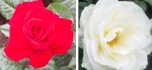 Between 1455 to 1485, the War of the Roses was fought for control of England by the House of York (white rose as symbol) and the House of Lancaster (red rose as symbol).10