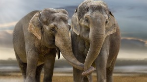 Elephants holding trunks