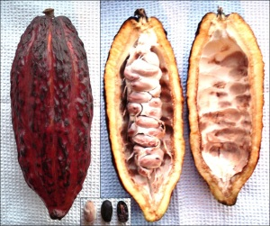 Cacao pod. Image courtesy of Genet at German Wikipedia.