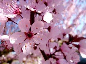 cherry_blossom_by_jennyxlove59-d4uraa9
